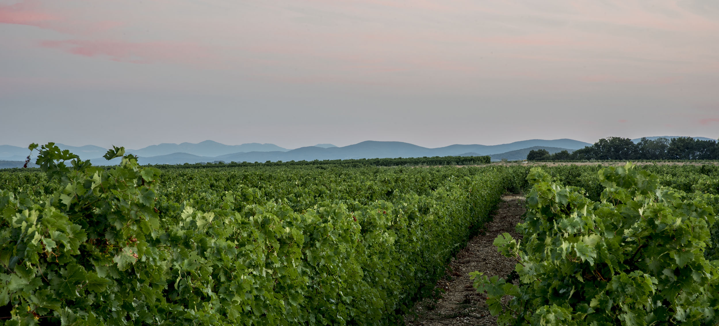 DSC_7021-vignes matin