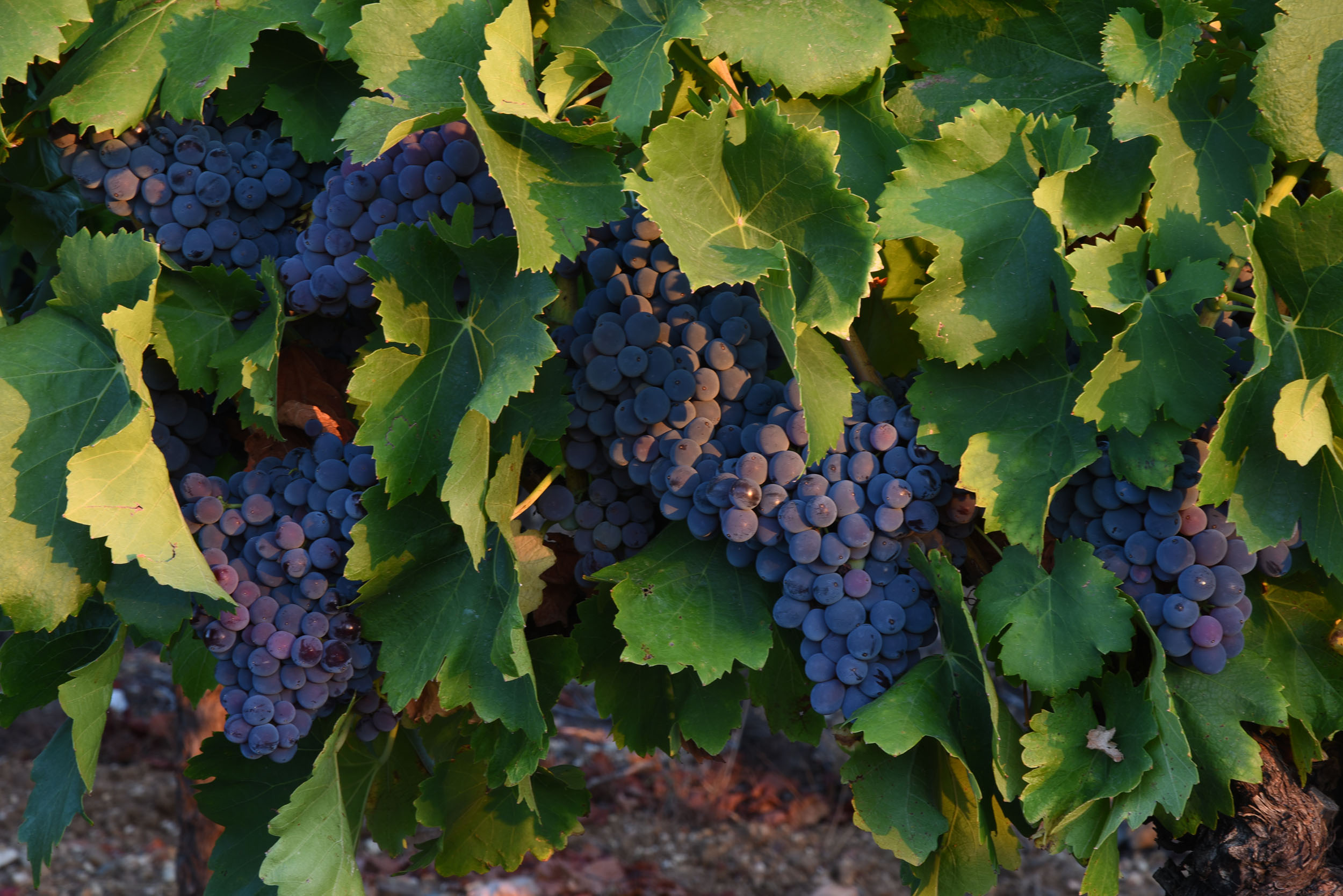 DSC_7082-grappe