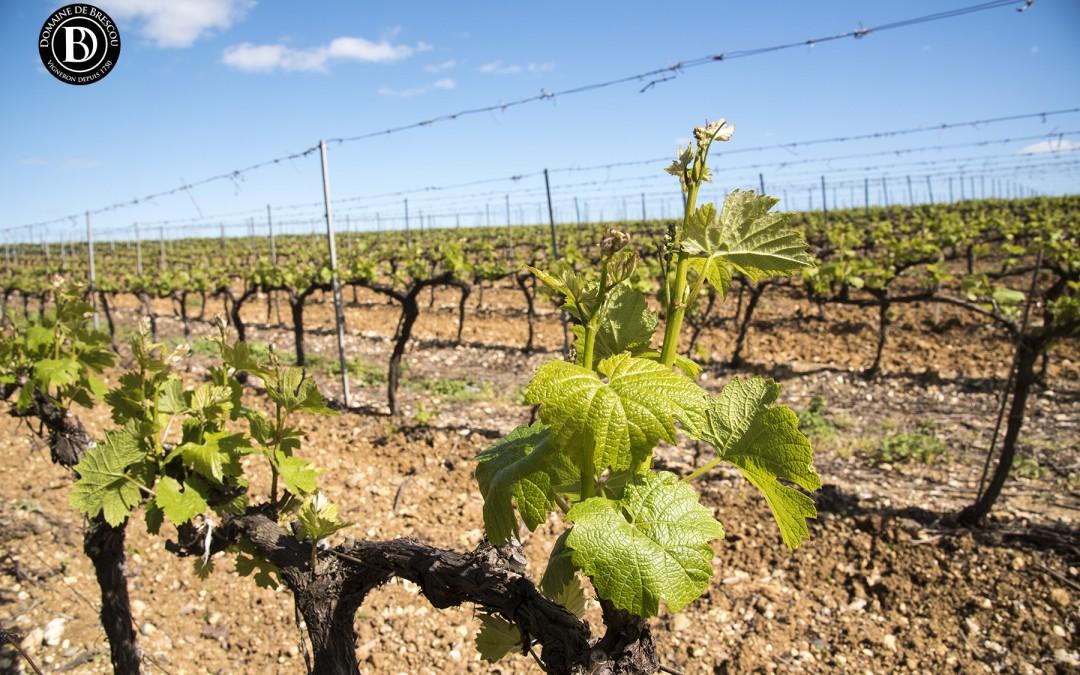 Le millésime 2016 en plein essor dans les vignes du domaine à Alignan du vent