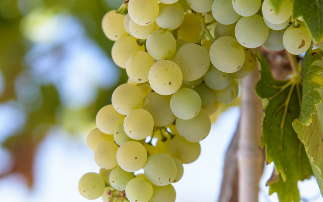 De belles grappes de blanc bientôt prêtes à vendanger