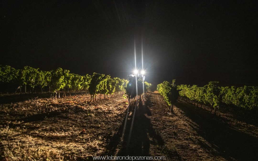 Night work in Languedoc vineyard : harvesting 2019